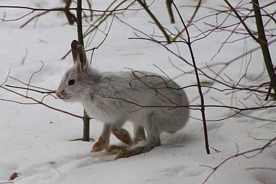 Photograph - Snowshoe Hare by John Burk
