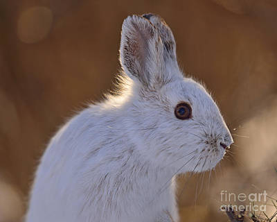 Photograph - Snowshoe Hare by Joshua McCullough