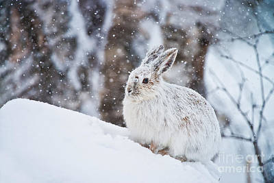 Snowshoe Hare Pictures 138 Original by World Wildlife Photography