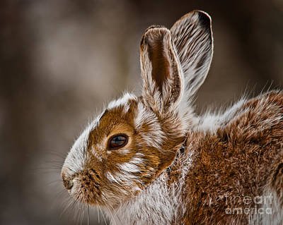 Snowshoe Hare Pictures 142 Original by World Wildlife Photography