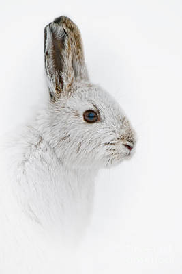 Snowshoe Hare Pictures 146 Original by World Wildlife Photography