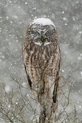 Photograph - Snowstorm Owl by Mircea Costina Photography