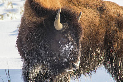 Photograph - Snowy Bison by Michael Balen