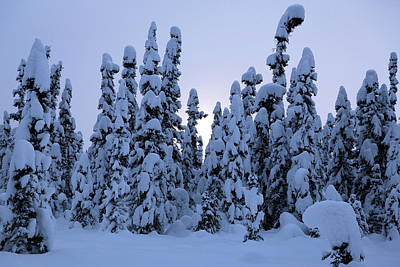 Photograph - Snowy Black Spruce by Tim Newton