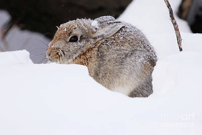 Photograph - Snowy Bunny by Alyce Taylor