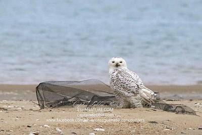 Photograph - Snowy By Fishing Net 2 by Captain Debbie Ritter