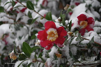 Photograph - Snowy Camelia by Tannis Baldwin