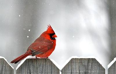 Snowy Cardinal Art Print by Debbie Sikes