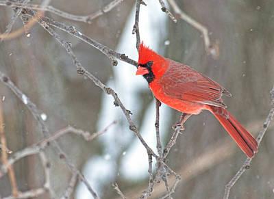 Photograph - Snowy Cardinal by Jim Zablotny
