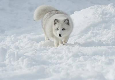 Arctic Fox Photograph - Snowy Day Stroll by Sandra Bronstein