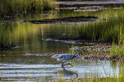 Photograph - Snowy Egret X Tricolor Heron by David Bishop