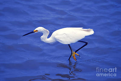 Photograph - Snowy Egret 1 by Bill Holkham