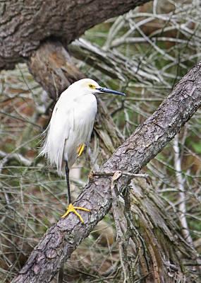 Photograph - Snowy Egret 1 by Captain Debbie Ritter