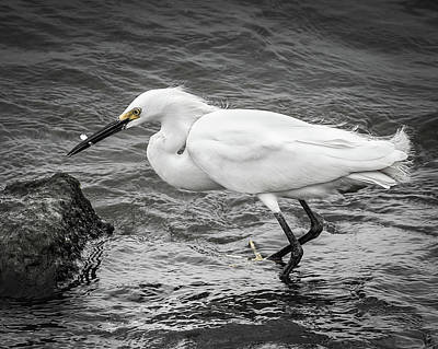 Photograph - Snowy Egret 1 by Mark Peavy