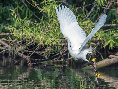 Photograph - Snowy Egret 1132-051518-1cr by Tam Ryan