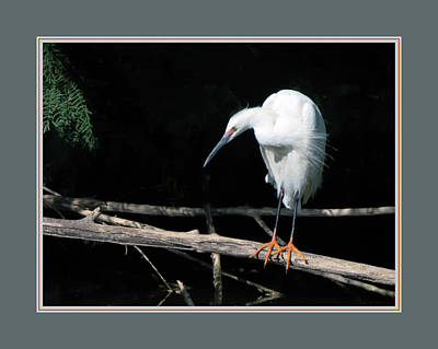 Photograph - Snowy Egret 1498-052218-1cr-matted by Tam Ryan