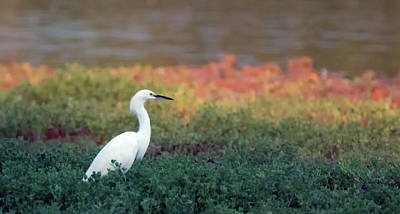 Photograph - Snowy Egret 2094-073118-1cr by Tam Ryan