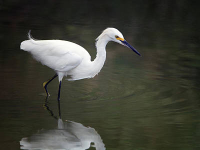 Photograph - Snowy Egret 2337-080918-1cr by Tam Ryan