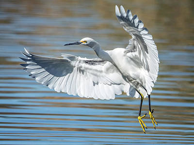 Photograph - Snowy Egret 3834-112317-1cr by Tam Ryan