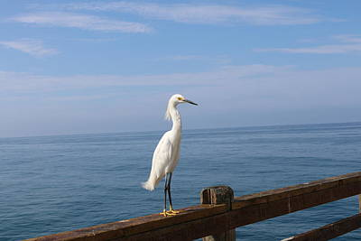 Photograph - Snowy Egret - 4  by Christy Pooschke