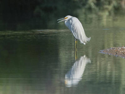 Photograph - Snowy Egret 4277-080917-1cr by Tam Ryan