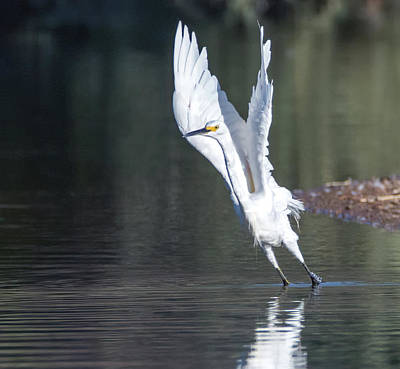 Photograph - Snowy Egret 4289-080917-3cr by Tam Ryan