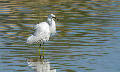 Photograph - Snowy Egret 7398-100817-1 by Tam Ryan