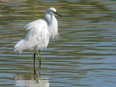 Photograph - Snowy Egret 7398-100817-2cr by Tam Ryan