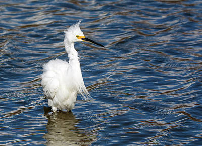 Photograph - Snowy Egret 8091-021918-1cr by Tam Ryan