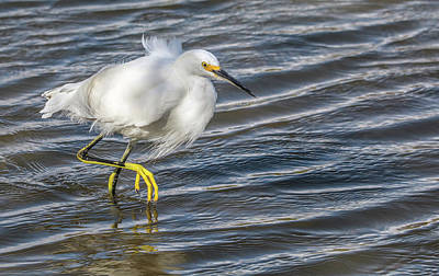 Photograph - Snowy Egret 8109-021918-1cr by Tam Ryan