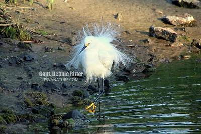 Photograph - Snowy Egret 8920 by Captain Debbie Ritter