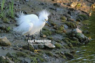 Photograph - Snowy Egret 9053 by Captain Debbie Ritter