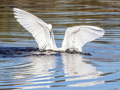 Photograph - Snowy Egret 9350-120317-1cr by Tam Ryan