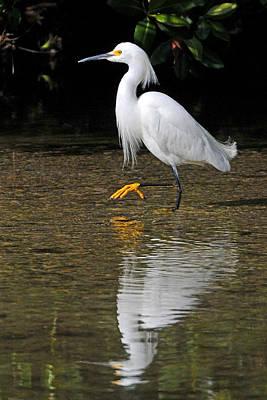Photograph - Snowy Egret by Alan Lenk