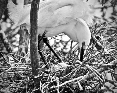Photograph - Snowy Egret And Eggs by Carol Bradley