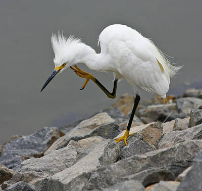 Snowy Egret Original by Arthur Bohlmann