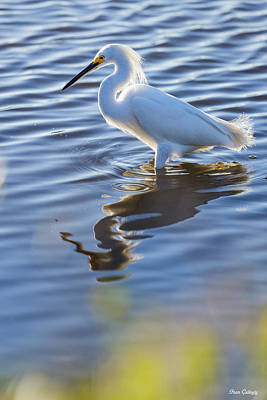 Photograph - Snowy Egret At Merritt Island by Fran Gallogly