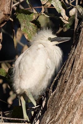 Photograph - Snowy Egret Baby by Kathleen Bishop