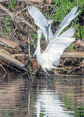 Photograph - Snowy Egret Chase 1026-051518-1cr by Tam Ryan