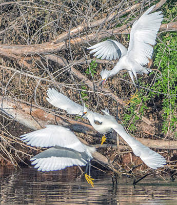 Photograph - Snowy Egret Chase 1029-051518-2cr-e by Tam Ryan