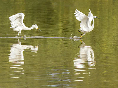Photograph - Snowy Egret Chase 1315-111317-1cr by Tam Ryan