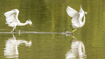 Photograph - Snowy Egret Chase 1315-111317-2cr by Tam Ryan