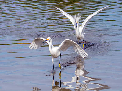 Photograph - Snowy Egret Chase 1327-111317-2cr by Tam Ryan