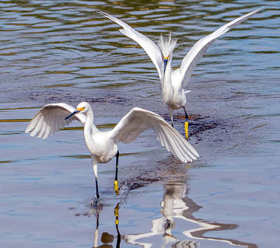Photograph - Snowy Egret Chase 1327-111317-3cr by Tam Ryan