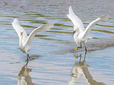Photograph - Snowy Egret Chase 1382-111317-2cr by Tam Ryan