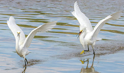 Photograph - Snowy Egret Chase 1382-111317-3cr by Tam Ryan