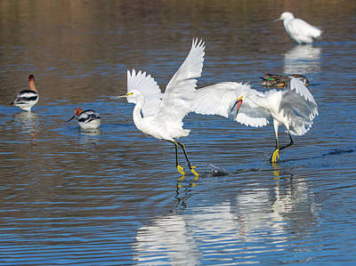 Photograph - Snowy Egret Chase 9303-022218-1cr by Tam Ryan