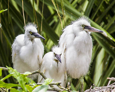 Little Mosters - Snowy Egret Chicks by Paula Porterfield-Izzo