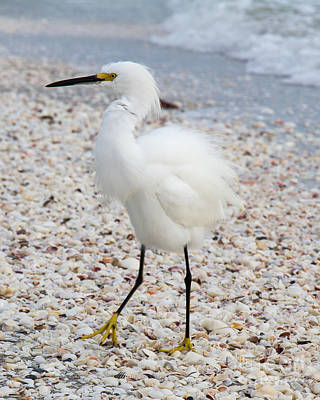 Photograph - Snowy Egret by Chris Scroggins