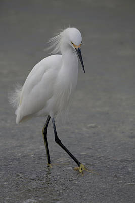 Photograph - Snowy Egret by Christopher L Thomley